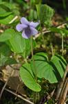 Viola epipsila